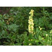 Verbascum nigrum, Schwarze Königskerze  Pflanze