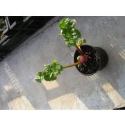 Rhabarber, rotstielig   Pflanze