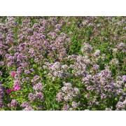Origanum vulgare, Wilder Majoran, Dost Pflanze