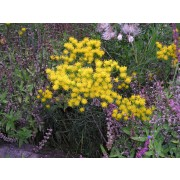 Aster linosyrus, Goldhaar-Aster Pflanze