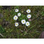 Gänseblümchen, Bellis perennis   Pflanze   5 Stück.