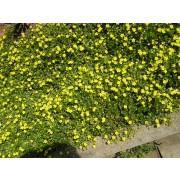 Potentilla verna , Frühlingsfingerkraut  Pflanze