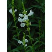 "Physostegia virginiana ""Summer Snow"" Gelenkblume Pflanze"