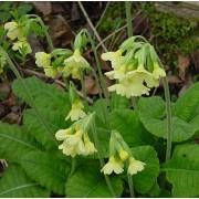 Primula elatior, Himmelsschlüssel  Pflanze