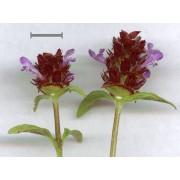Prunella vulgaris, Braunelle  Pflanze