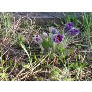 Pulsatilla vulgaris, Küchenschelle  Pflanze