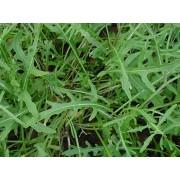 Rucola, Eruca selvatica Samen