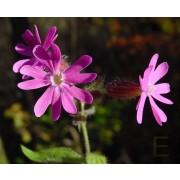 Silene dioica, Rote Lichtnelke  Pflanze