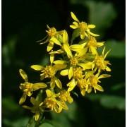 Solidago caesia, Goldbandrute  Pflanze