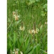 Plantago lanceolata, Spitzwegerich  Pflanze