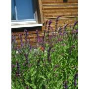Salvia nemorosa, Steppensalbei, Sommersalbei  Pflanze