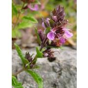 Teucrium chamaedrys, Edelgamander  Pflanze