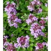 Thymus serpyllum, Quendel Pflanze