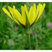 Wiesenbocksbart, Tragopogon pratense  Samen