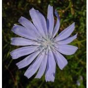 Wegwarte, Cichorium intybus  Samen