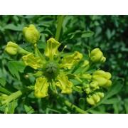 Ruta graveolens, Weinraute  Pflanze