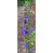 Hyssopus officinalis, Zwergysop  Pflanze