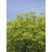 Foeniculum vulgare, Arzneifenchel Pflanze
