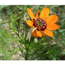 Adonis vernalis, Frühlingsadonisröschen  Samen
