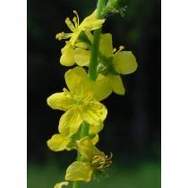 Agrimonia eupatoria, Kleiner Odermennig  Samen