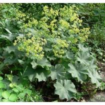 Alchemilla mollis, Wolliger Frauenmantel  Pflanze