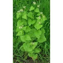 Knoblauch-Rauke, Alliaria petiolata  Samen