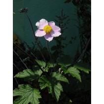"Anemone hupehensis ""Septembercharme"", Herbstanemone"