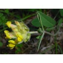 Anthyllis vulneraria, Wundklee  Samen