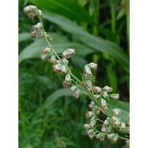 Artemisia vulgaris, Beifuß   Pflanze