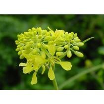 Brassica nigra, Schwarzer Senf