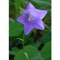 Campanula persicifolia, Pfirsichblatt-Glockenblume Samen