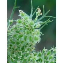 Daucus carota, Wilde Möhre  Samen