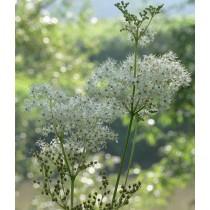 Filipendula ulmaria, Knolliges Mädesüß Samen