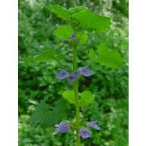 Glechoma hederacea, Gundelrebe  Pflanze