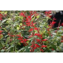 Ananassalbei Pflanze