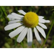 Chrysanthemum parthenium, Mutterkraut  Samen