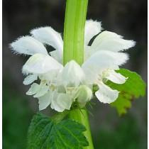 Lamium album, Weiße Taubnessel Pflanze
