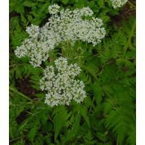 Myrrhis odorata, Süßdolde  Samen