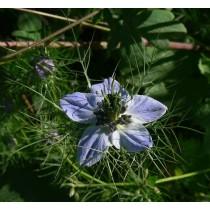 Nigella damascena flor plena, Jungfer im Grünen