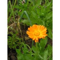 Ringelblumen, Calendula officinalis  Samen