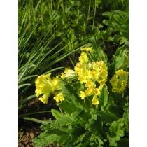 Primula veris, Echte Schlüsselblume  Pflanze