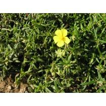 Helianthemum nummularium, Sonnenröschen   Samen