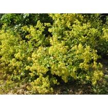 Alchemilla xanthochlora, Frauenmantel  Pflanze