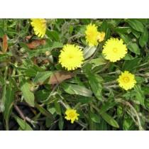 Hieracium pilosella, Kleines Habichtskraut   50 Stck.