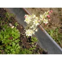 Filipendula vulgaris, Mädesüß Samen