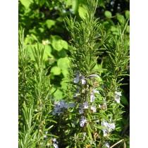 Rosmarinus officinalis, Rosmarin Pflanze
