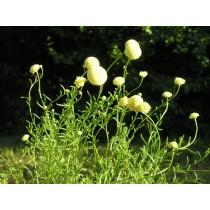 Helichrysum italicum, Currykraut Pflanze