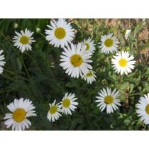 Chrysanthemum leucanthemum, Wiesenmargarite  Samen