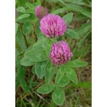Trifolium pratense, Rotklee