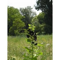 Alcea rosea var. nigra, Schwarze Malve  Samen